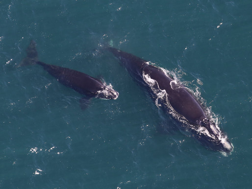 Monitoring whales from space