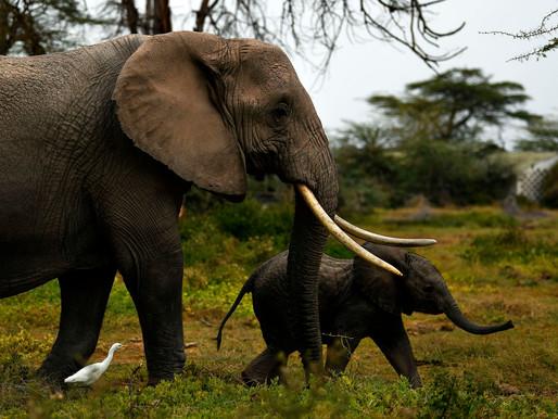 Kenya's elephant baby boom