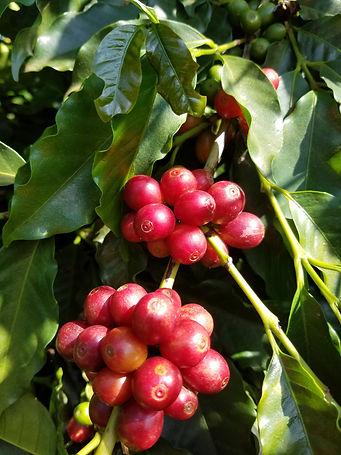 Grãos de café cereja na planta