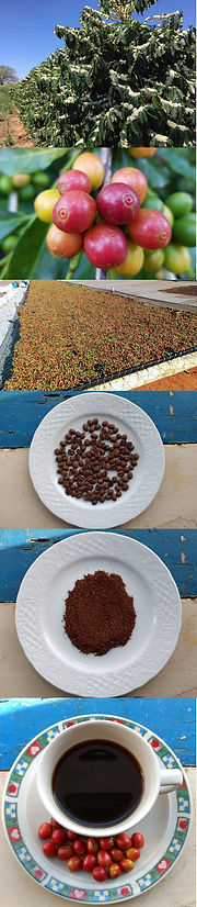 Cafezal em flor, café cereja, terreiro suspenso de café, café torrado, café moído, café na xícara