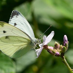 Vlinders en Libbeles