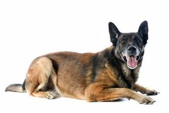 La Spirocercose chez le chien