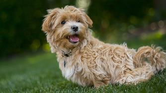 L'ehrlichiose canine