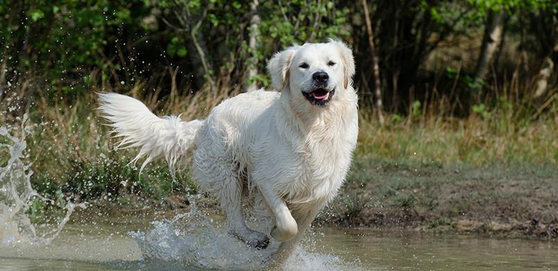 Golden Retriever à l'eau, du pur bonheur !