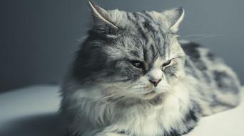 Les maladies génétiques chez le chat
