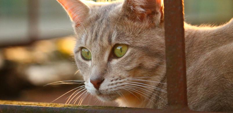 Les chats âgés sont plus touchés par l'hyperthyroïdie