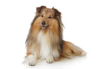 Le détartrage pour un chien ?