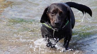 La saison chaude, vraie menace pour votre chien.