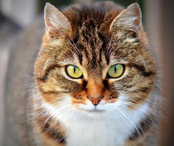 L'excès de poids chez le chat