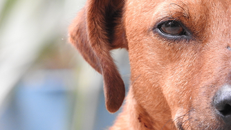 Pourquoi les yeux de mon chien coulent?