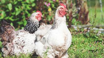 Posséder une poule, c'est écologique !