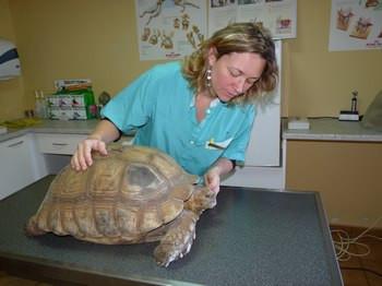 Dr. Pignolet s'occupant d'une tortue Rediata