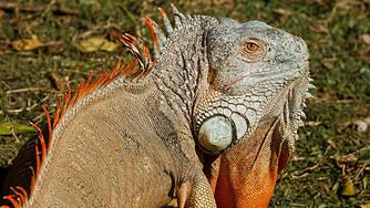La salmonellose, maladie transmissible à l'homme par les reptiles