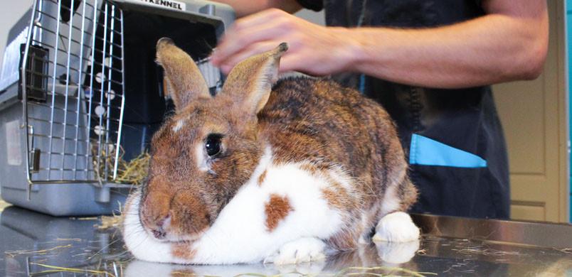Le lapin est arrivé avec une malocclusion dentaire