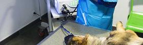 Endoscopie sur un chien