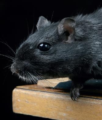 Le rat comme animal de compagnie
