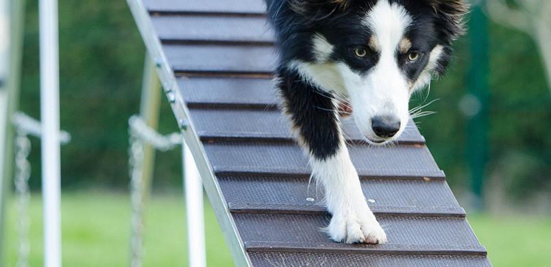 Border Collie sur une passerelle pendant une séance d'agility