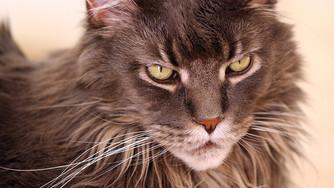 Maladies génétiques chez le chat
