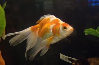 Connaître les poissons rouges.