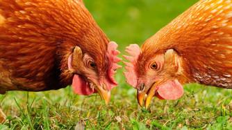 Avoir une poule de compagnie