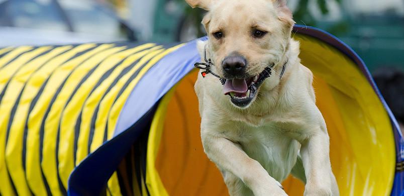 Labrador dans un tunnel pratiquant l'agility