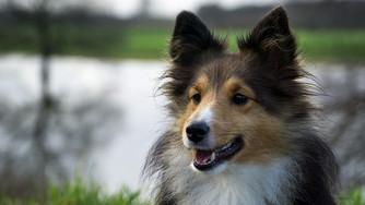 Comment gérer les chaleurs de sa chienne ?