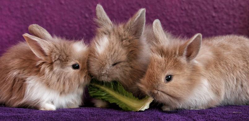 Lapins nains mangeant un morceau de salade.