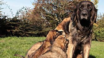 Herpès virose et avortements chez la chienne