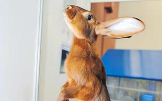 Les maladies digestives du lapin.