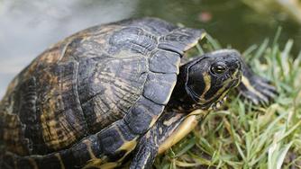 Vous voulez adopter une tortue d'eau? Quelques conseils avant de vous lancer!