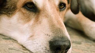 L'insuffisance cardiaque chez le chien