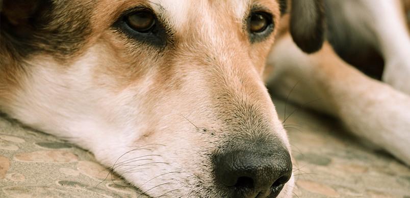 La paresse peut s'installer chez un chien souffrant d'insuffisance cardiaque