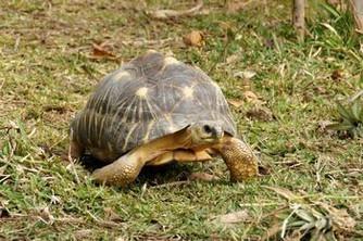 S'occuper de sa tortue Radiata