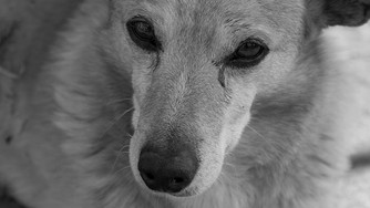 L'arthrose chez mon chien