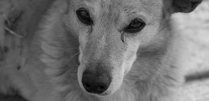 L'arthrose peut apparaître dès que votre chien atteint 8 ans