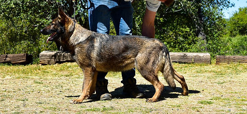 Personal protection German shepherd for sale