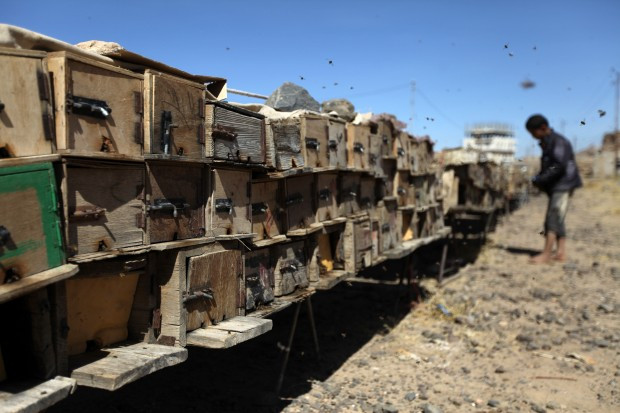Včelaření v Jemenu