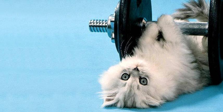 PersianPower Web Design Logo. Persian kitten lifting weights