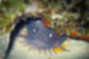 splendid toadfish.jpg
