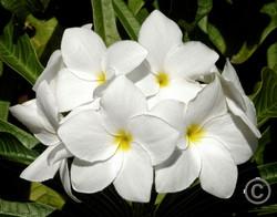 Caribbean Flowers