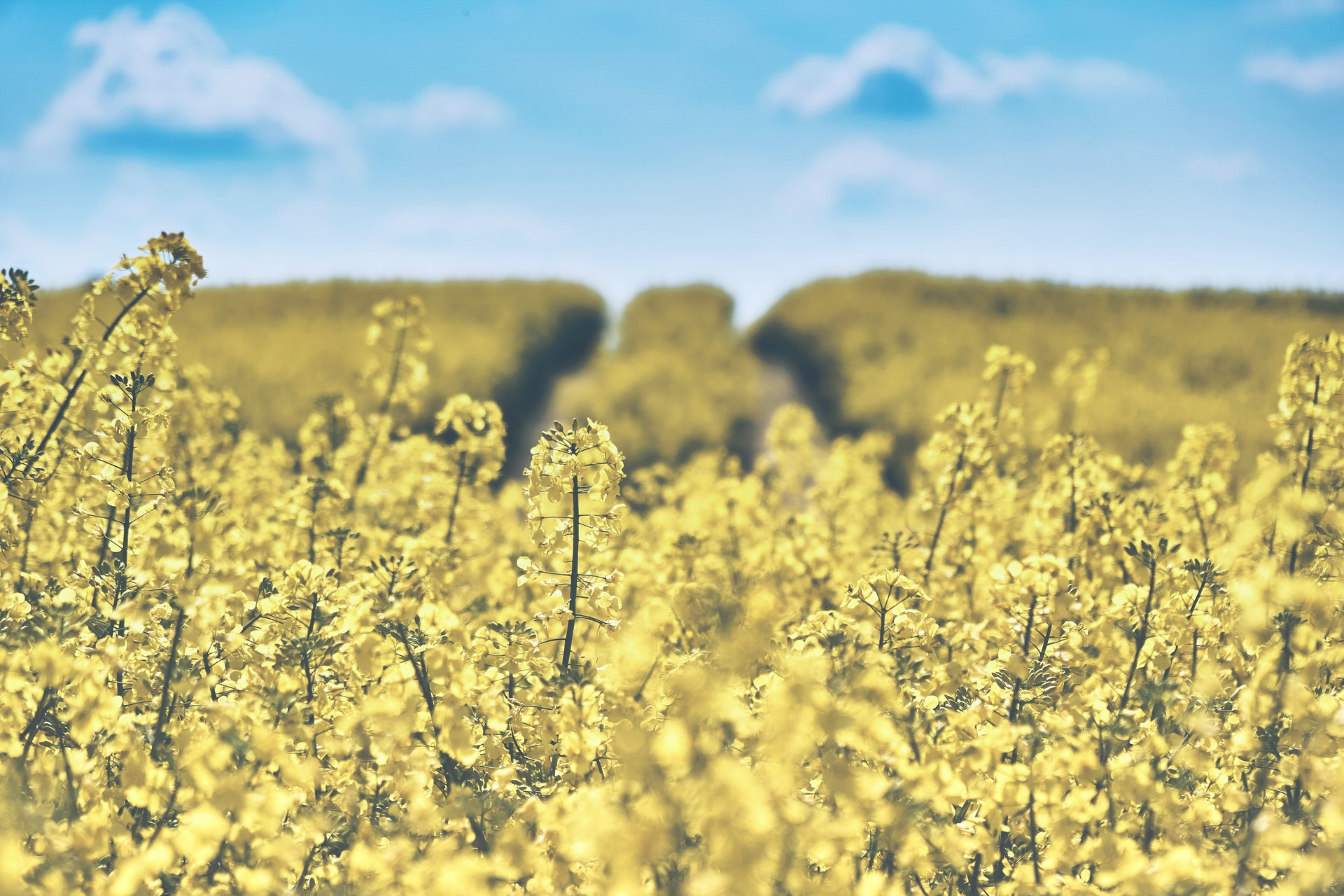 field-of-rapeseeds-1433380_1920