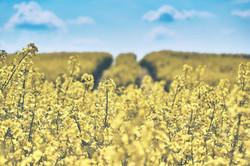 field-of-rapeseeds-1433380_1920