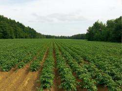 potato-218865_1280