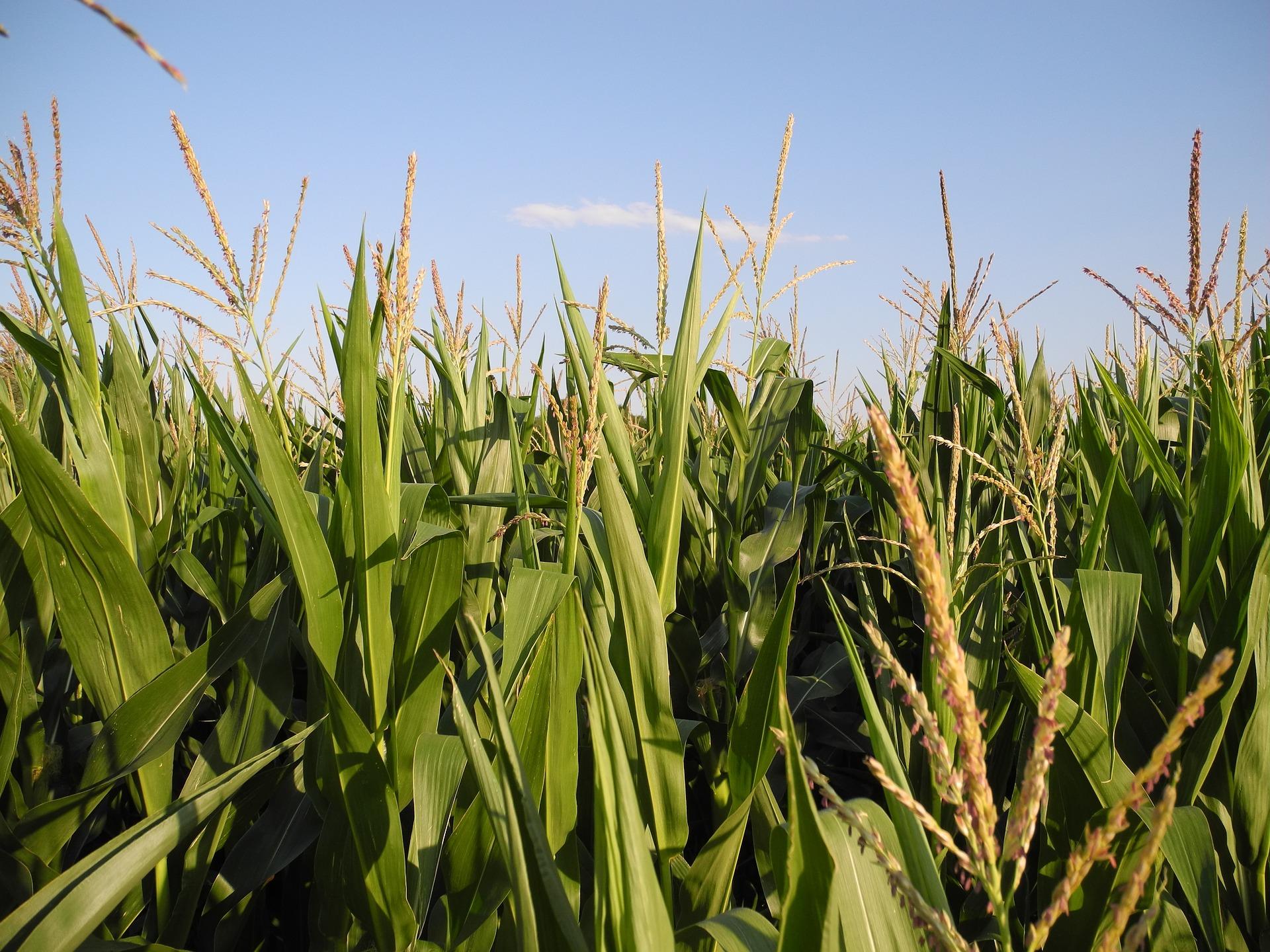 corn-866075_1920
