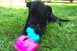 lab puppy 3