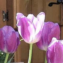 tulip purple.JPG