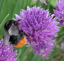 P1020618 bee on chives t.jpg