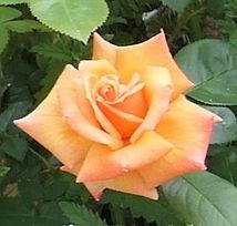 apricot rose.jpg