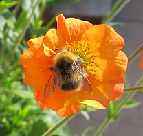 Geum and bee_1.JPG