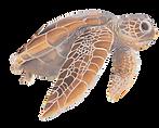 Full Colour Turtles 1.tiff